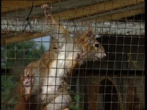 478427834-scoiattolo-prigionia-gabbia-grata