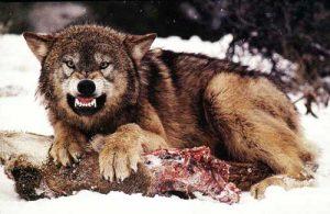 Wyoming-Wolf1